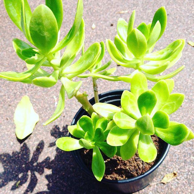 Sedum Dendroideum Bush Sedum Tree Stonecrop Succulent Plants Uk