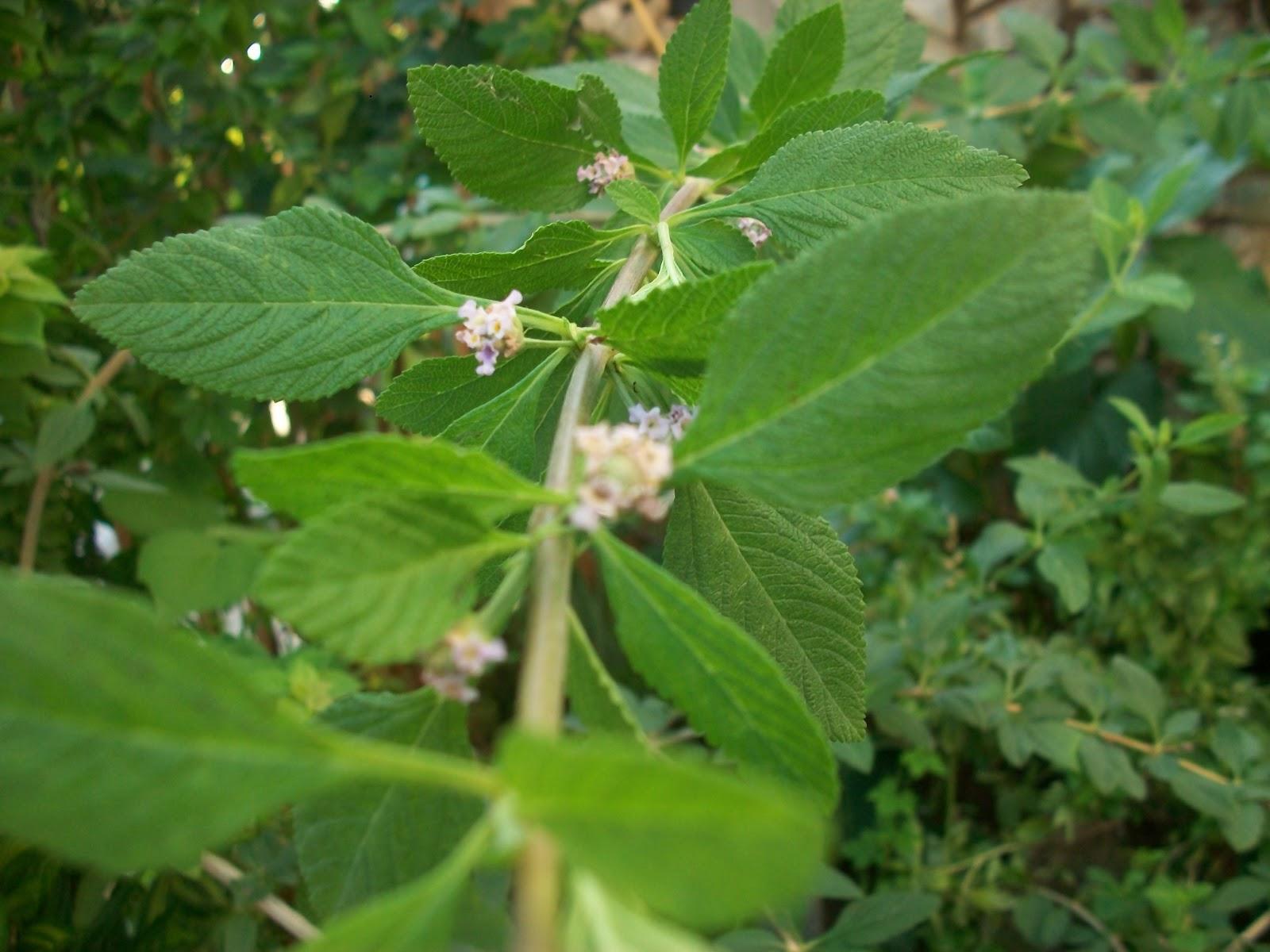 Planta que toronjil es medicinal el
