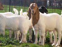 Yuk Kenali 6 Jenis-Jenis Kambing yang Sering di Ternak