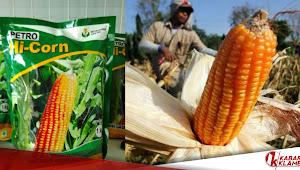 Kabar Gembira Buat Para Petani Jagung, Petro Hi-Corn Benih Jagung Berkualitas Kini Bisa Dengan Mudah Didapat