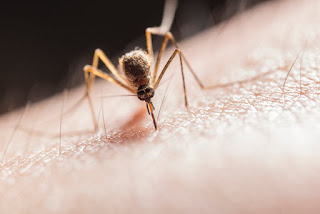 malaria-mosquito