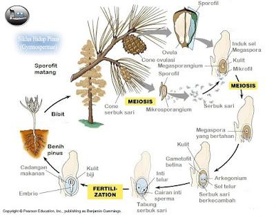 Siklus Hidup Pinus (Gymnospermae)