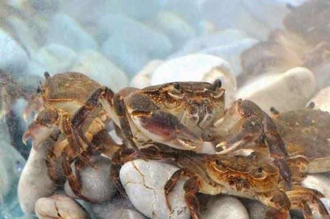 Der mysteriöse Bewohner des Ohridsees - Die Süßwasserkrabbe