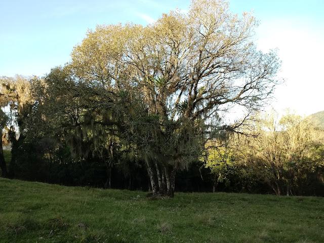 A foto mostra a árvore com folhas amareladas e cairão e se renovarão na Primavera.