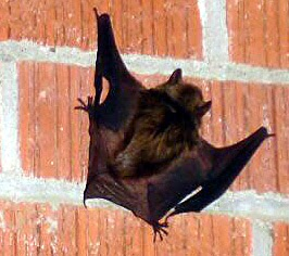 Little Brown Bat Little Rock Arkansas