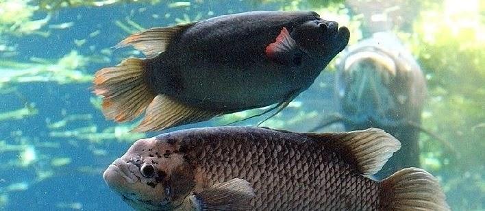 Cara Budidaya Ikan Gurame di Kolam Tembok Agar Cepat Besar Hasil Melimpah
