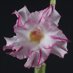Gambar Bunga Adenium yang Unik dan Cantik 22