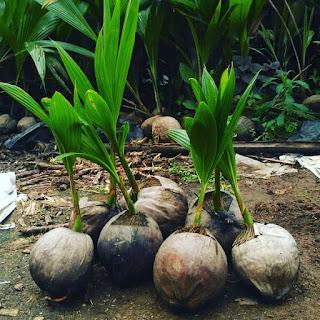 bibit kelapa hijau wulung serat merah siap tanam yang bermanfaat untuk obat dan kesehatan