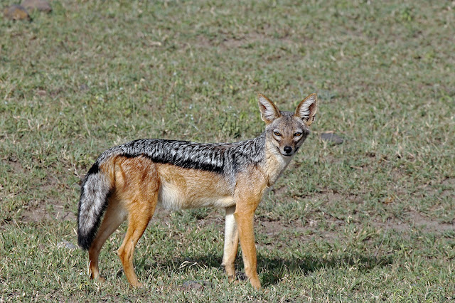 Buy canvas print of Black Backed Jackal