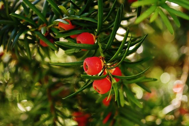 Greffage des plantes ornementales et arbres fruitiers
