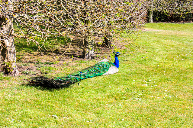 A male peacock, lying full length on the lawn, showing how long his tail feathers are.