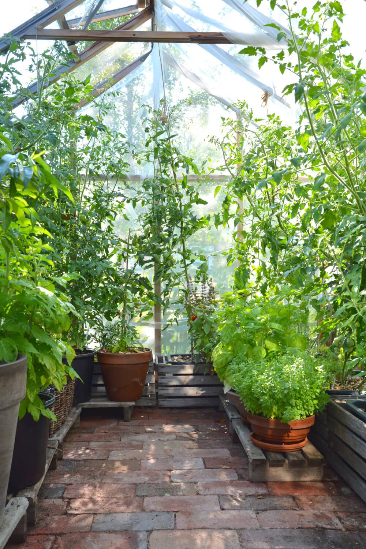 tomaatit-kasvihuone-mita-tehda-heinakuussa
