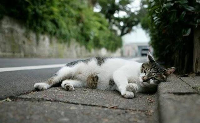 Kenapa Kucing Melintasi (menyebrang) jalan Malam Hari ketika ada Kendaraan Lewat?