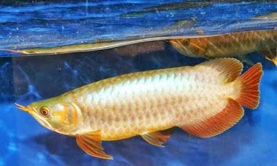 Ikan Arwana Banjar / Banjar Red Arwana