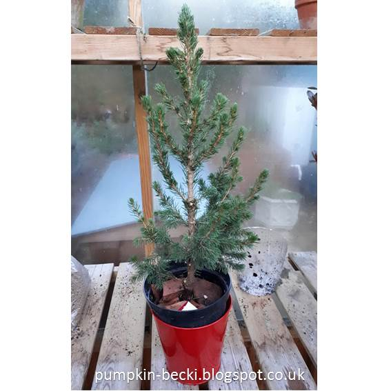 Picea abies Norwary Spruce Bonsai initial pruning repot recover