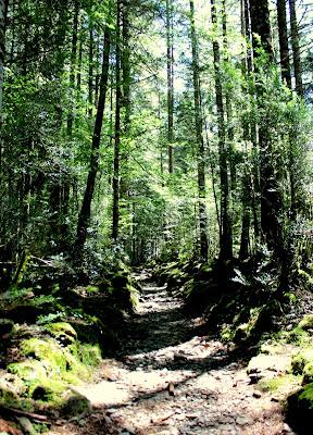 Bosque de hayas. Ruta Cola de Caballo-Ordesa