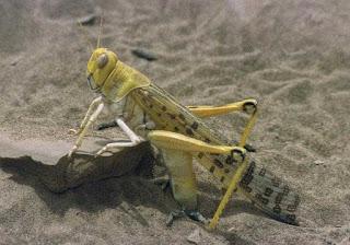 Locust- a warning bell to Nepal: Desert Locust