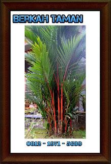 Pohon palem merah ( Cyrtostachys Renda )