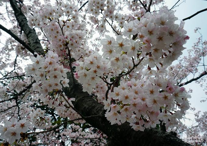 Sakura 2016, parc Maizuru, Fukuoka