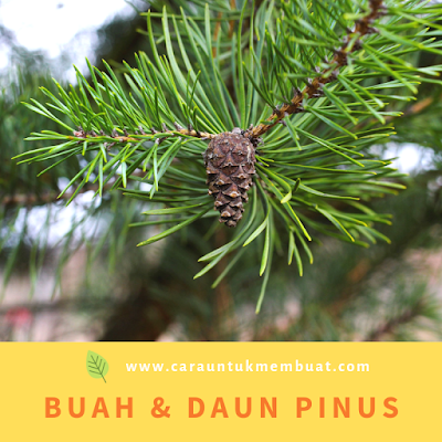 Buah & Daun Pinus