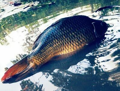 5 Makanan Ikan Mas Supaya Cepat Besar Hobinatang