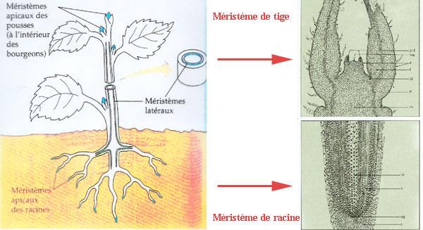 Cours de Biologie Végétale pour SVT S2 - Ch2