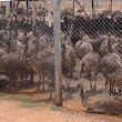 Indian Agriculture: Tens of thousands of emus left to starve in India after farms collapse