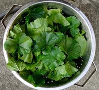 Kashmir, Kashmiri, mallow, recipe, sochal, soachal, vegetable, traditional, easy, india, pakistan, weed, malva, forage, edible,