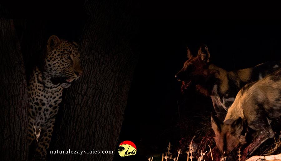 Leopardo y Licaones en Zambia