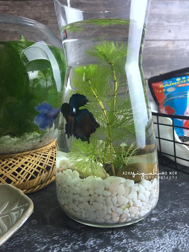Beli Water Plant Aquariuam Cambomba Aquatica Untuk Betta Fish