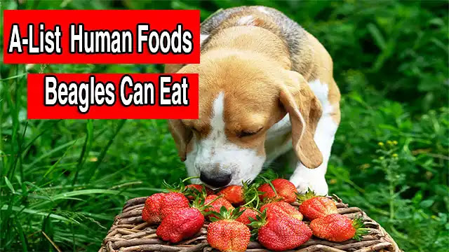 A-List  Human Foods Beagles Can Eat