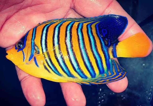 Ikan hias air laut angelfish