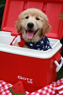 golden retriever puppy patriotic, golden retriever puppy American, golden retriever july 4th, dog july 4th, american dogs, cute puppy, smiling puppy