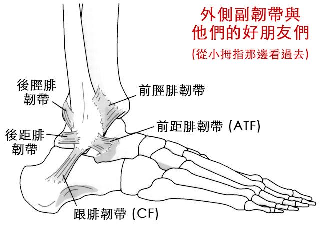 腳踝 外側副韌帶 前脛腓韌帶 前距腓韌帶 跟腓韌帶