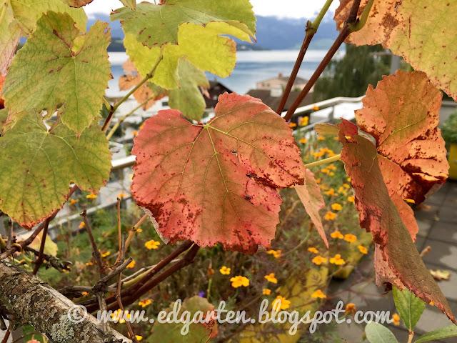 Herbstliches Traubenblatt
