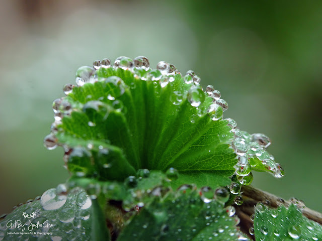 Lady's Mantle Photo