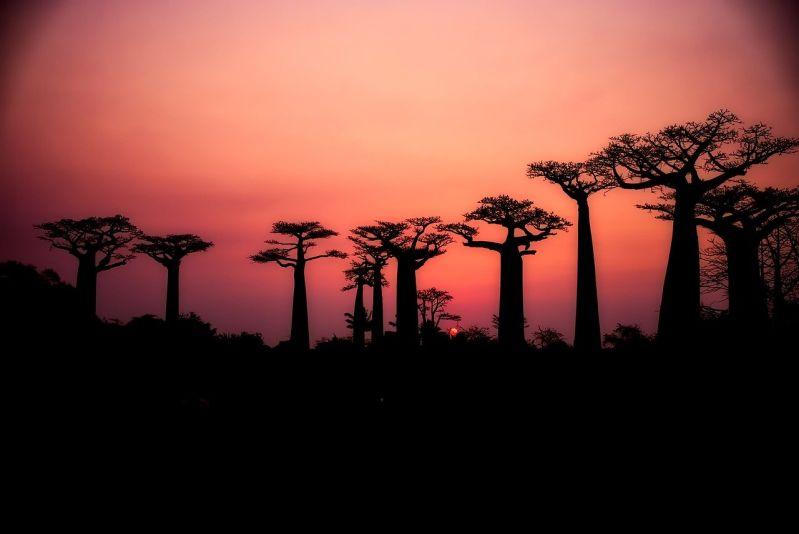 Baobab Baum der CO2 Killer zu verschenken