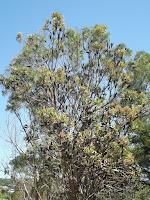 Black pods tree - Wellington Botanic Garden, New Zealand