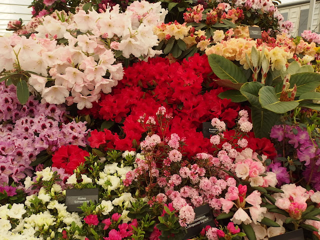 Part of the Exbury hybrid rhododendron display at Chelsea Flower Show 2019