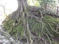 Venerable root globe - Kenroku-en Garden, Kanazawa, Japan