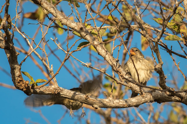 Finches, Puerto Egas