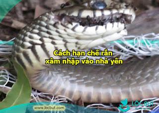 Cách hạn chế rắn xâm nhập vào nhà yến.