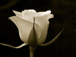 صور ورود صور ورد احلى صور الورود 2020