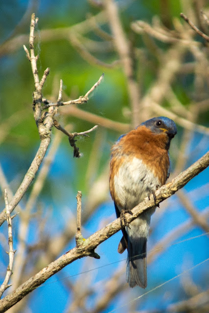 Eastern Bluebird, Cross Timbers Trail