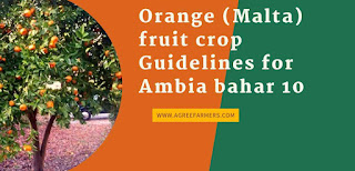 Orange (Malta) fruit crop Guidelines for Ambia bahar 10