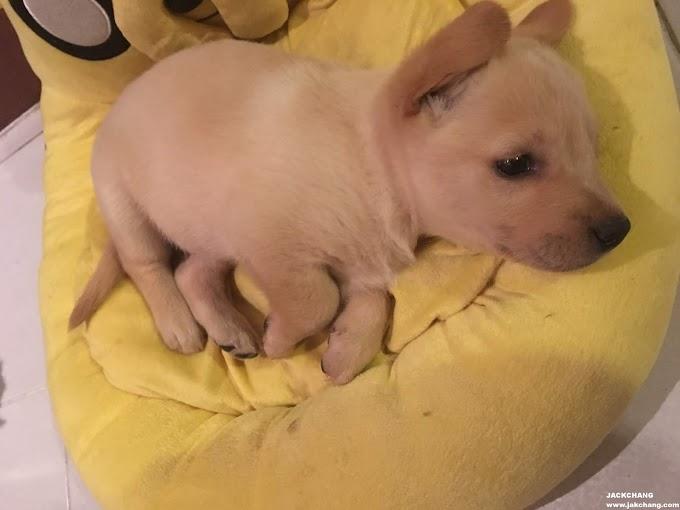 生活|拉布拉多幼犬-爆炸可愛、從舒潔衛生紙跑出來了?