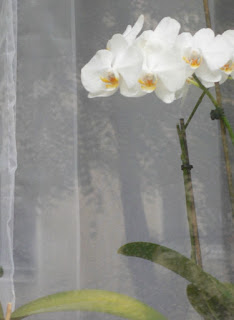White orchid in window, detail, photo ©2015 Tina M. Welter  Dresden apartments
