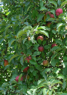 Red apples on a tree, Sonoma County, California