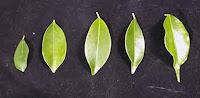 mengecilkan daun bonsai beringin