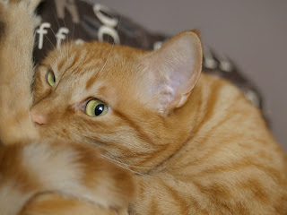 orange cat photo